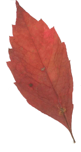 first_leaf_of_fall